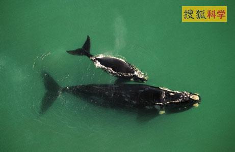 一项新研究表明,巨大海洋动物鲸可能是由一种像长尾巴鹿的小型奇特