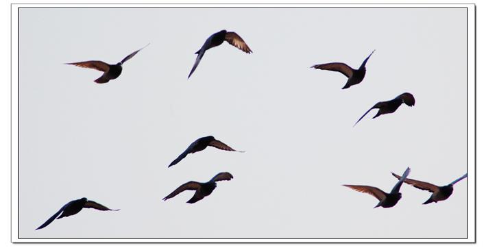 飞翔的鸽子 ← 焦作摄影
