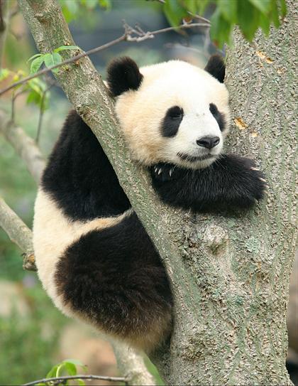 """图片: 可爱的熊猫""""泰山"""""""