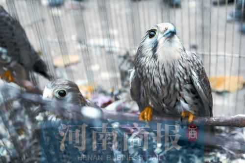 国家二级保护动物红隼被关在笼子里